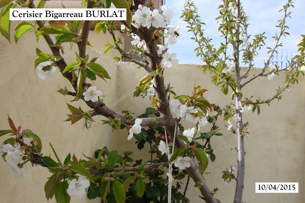 Cerisier Bigarreau BURLAT en fleur au 10-04-2015