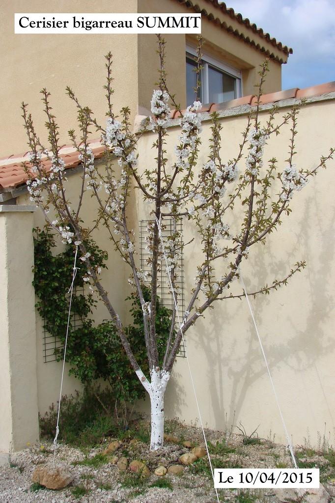 Cerisier bigarreau SUMMIT en fleur au 10-04-2015