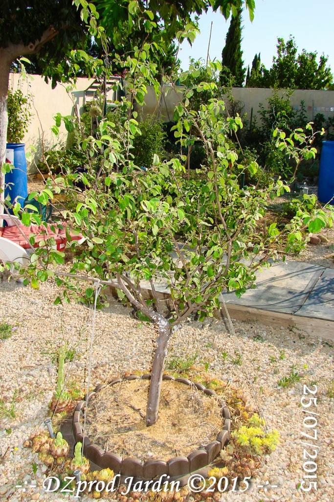Cognassier - DZprod Jardin - 25 juillet 2015