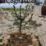 Cognassier au 08-04-2013