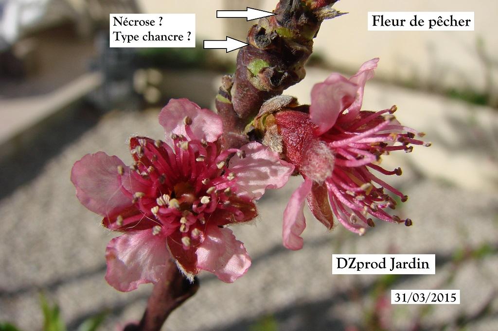 Fleur de pêcher au 31-03-2015
