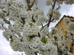 Intense floraison - Cerisier Summit au 10 avril 2018