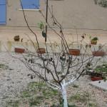 Traitement hiver du cognassier au blanc arboricole au 20-11-2014