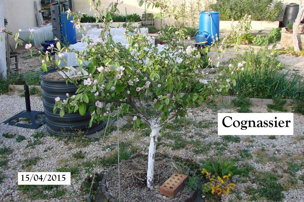 cognassier au 15-04-2015