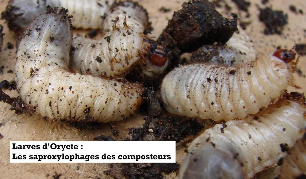 Gros plan des larves saproxylophages des composteurs du Loucastarelet