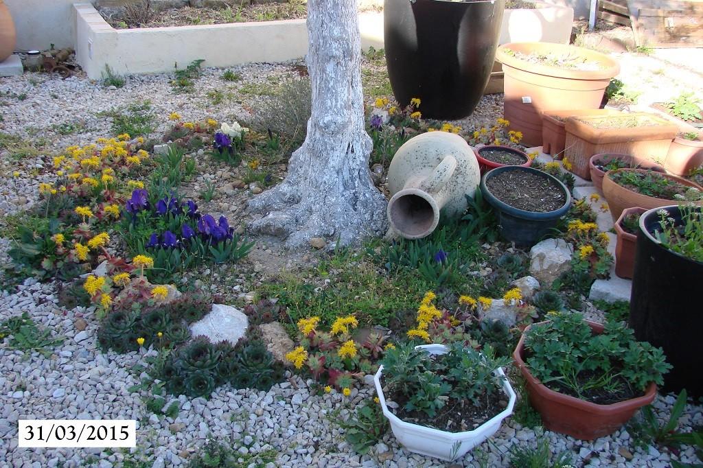 Sedums et iris - olivier Bota - 31-03-2015