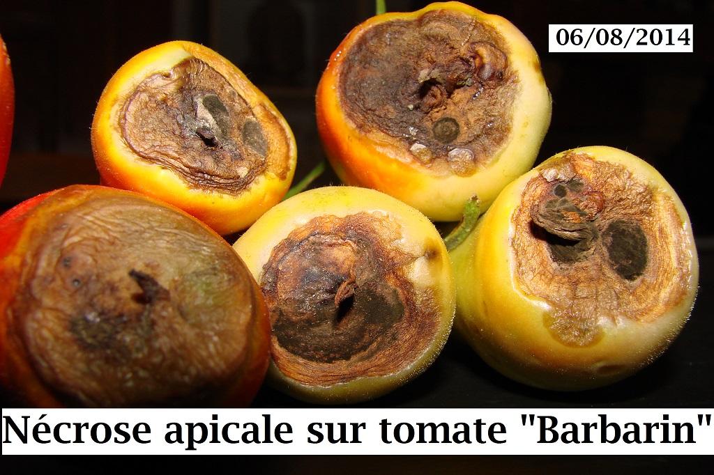 nécrose apicale et autres maladies des tomates