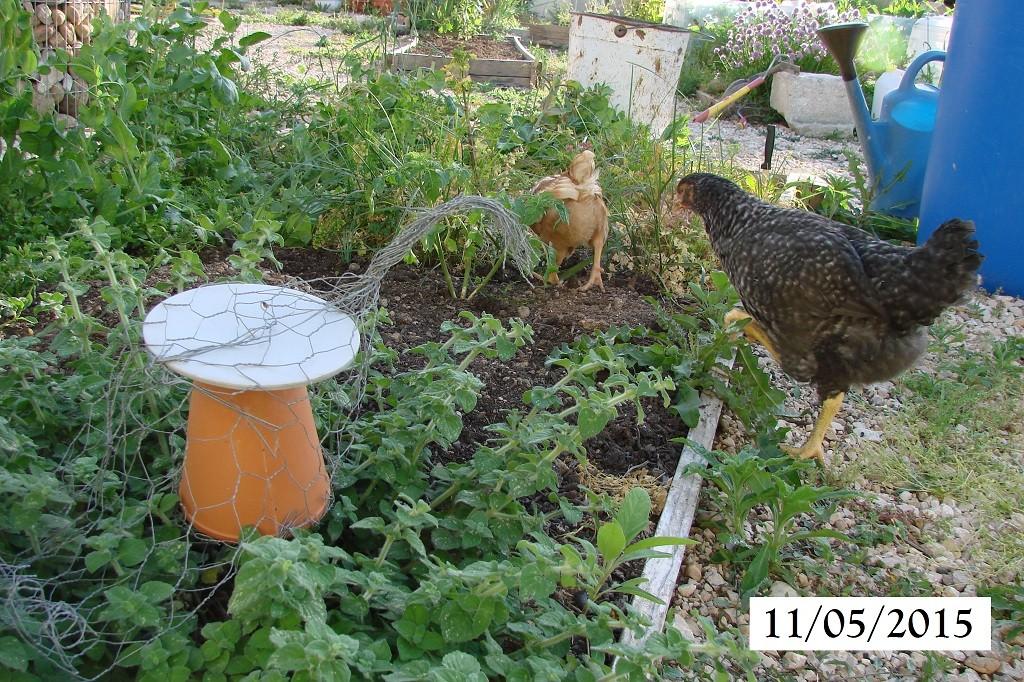 Hôtel à insecte POULE et les poules au 11-05-2015