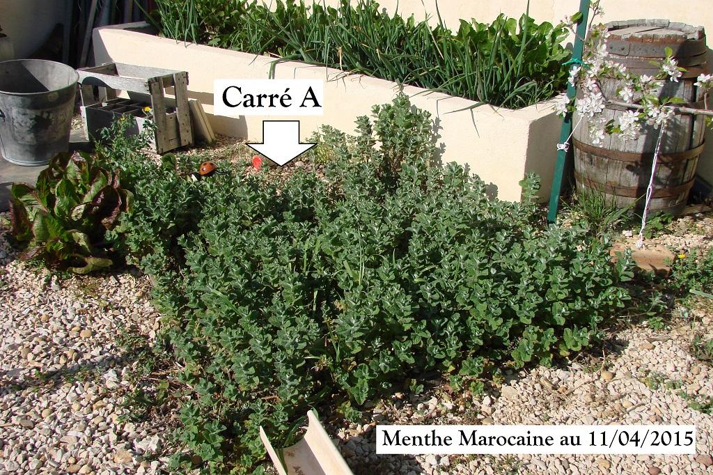 Menthe marocaine du carré A au 11-04-2015