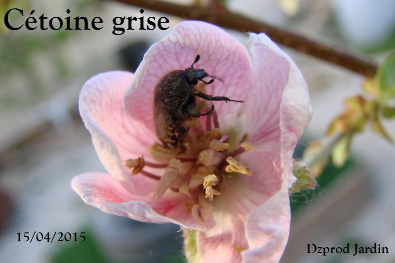 cétoine grise fleur de cognassier 15-04-2015