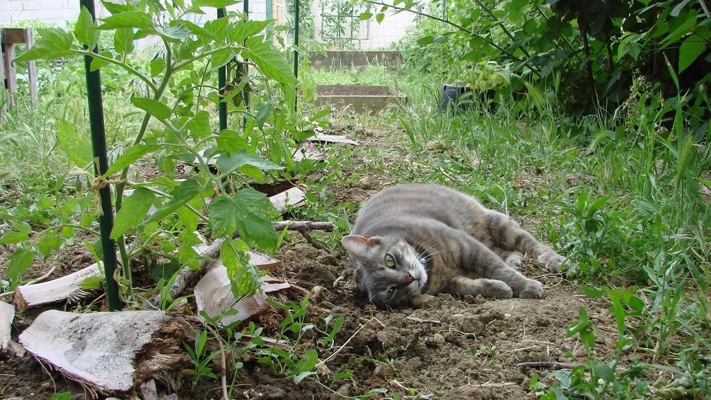 La minette surveille la pousse des tomates de Lise