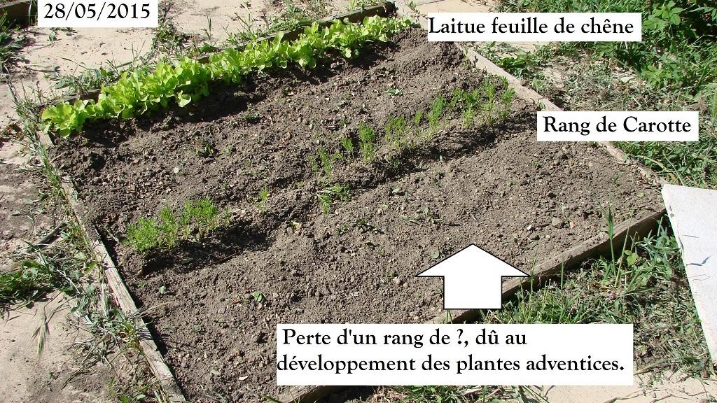 Perte du rang de semis dû au développement des plantes adventices 28-05-2015