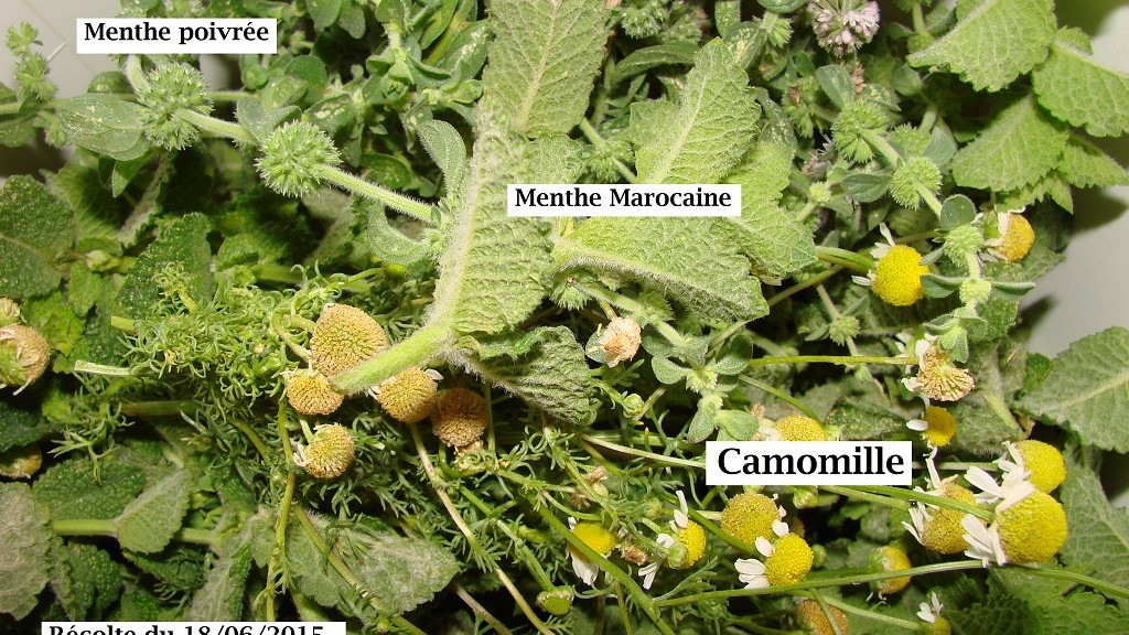 Récolte aromatique du 18-06-2015