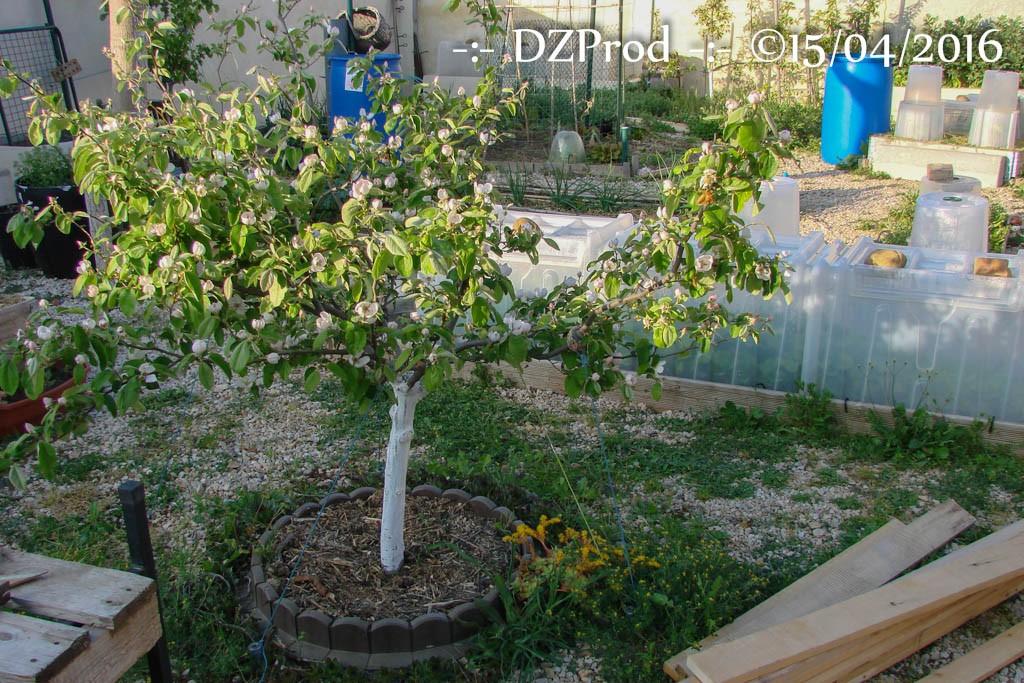 Cognassier - DZprod Jardin - 15 avril 2016