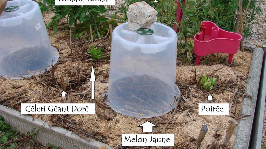 Repiquage de poirée et céleri - Bac L-Tronc - DZprod Jardin - 25 mai 2016