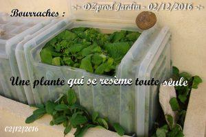 bourrache-autosemis-bac-eychenne-dzprod-jardin-02-decembre-2016