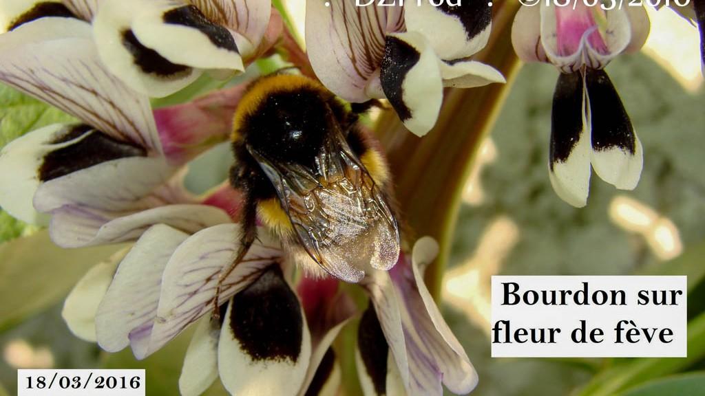 Bourdon sur fleur de fève - DZprod Jardin - 18 mars 2016