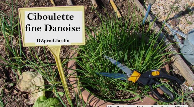 Récolte de ciboulette fine Danoise