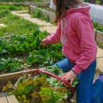 Salade et épinards plein le Kajo® de Lise - DZprod Jardin du Loucastarelet