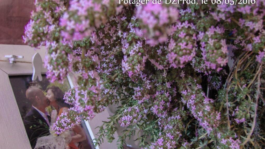Fleurs de thym - DZprod Jardin - 08 mai 2016