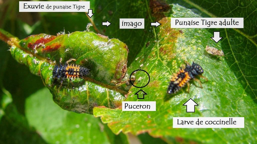 larve de coccinelle - punaise tigre - DZprod Jardin - 18 mai 2016