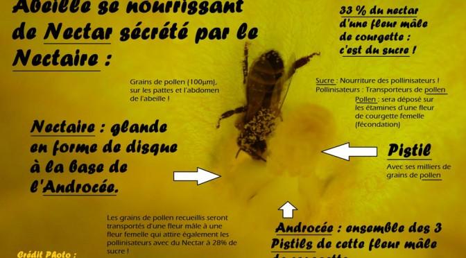 Pollinisation de la courgette