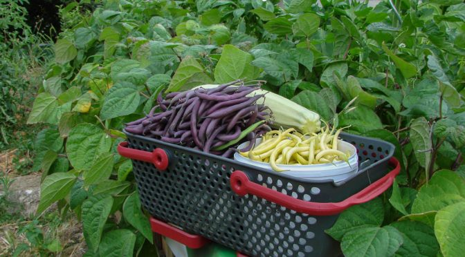 Cueillette haricot facilitée : haricot jaune ou violet