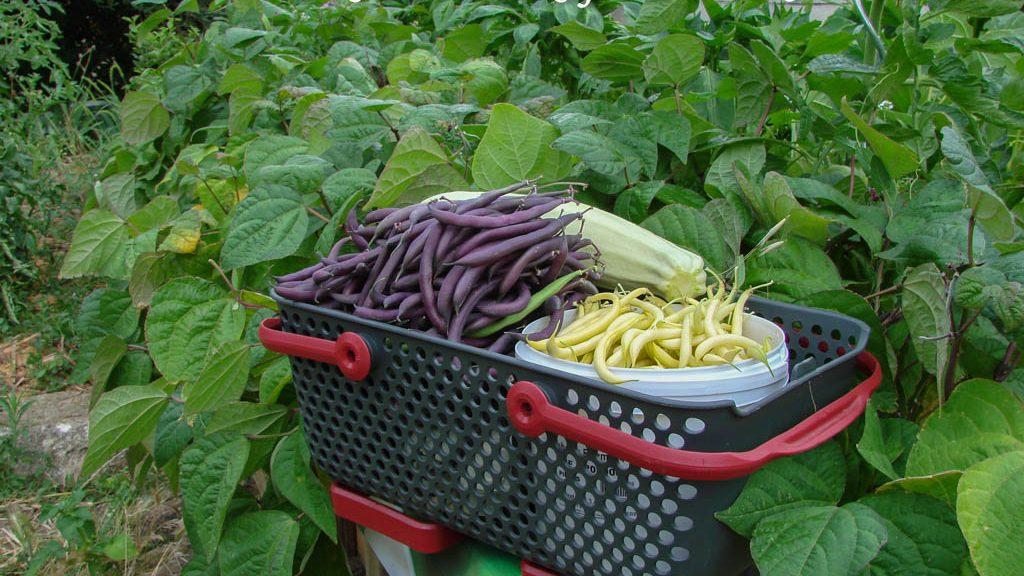 Les récoltes facilitées - DZprod Jardin - 02 juillet 2016