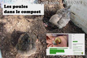 poules Loucascarelet compost orycte - DZprod Jardin - 28 août 2016