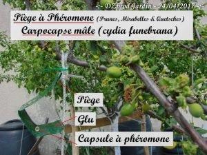 Piège à phéromone prunier Algoflash Naturasol - carpocapse - cydia funebrana mâle - 24-04-2017