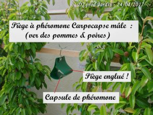 Piège à phéromone Algoflash Naturasol - carpocapse - cydia pomonella mâle - 24-04-2017