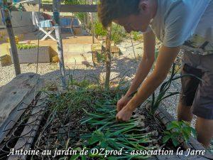 Antoine récolte les poireau en vue du repiquage - DZprod Jardin
