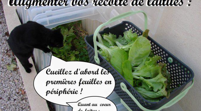 Augmenter vos récoltes de laitue