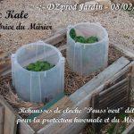 Choux Kale - rehausse de cloche pouss vert - 08-02-2017