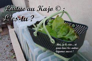 Laitue au kajo - DZprod Jardin - 23-12-2016