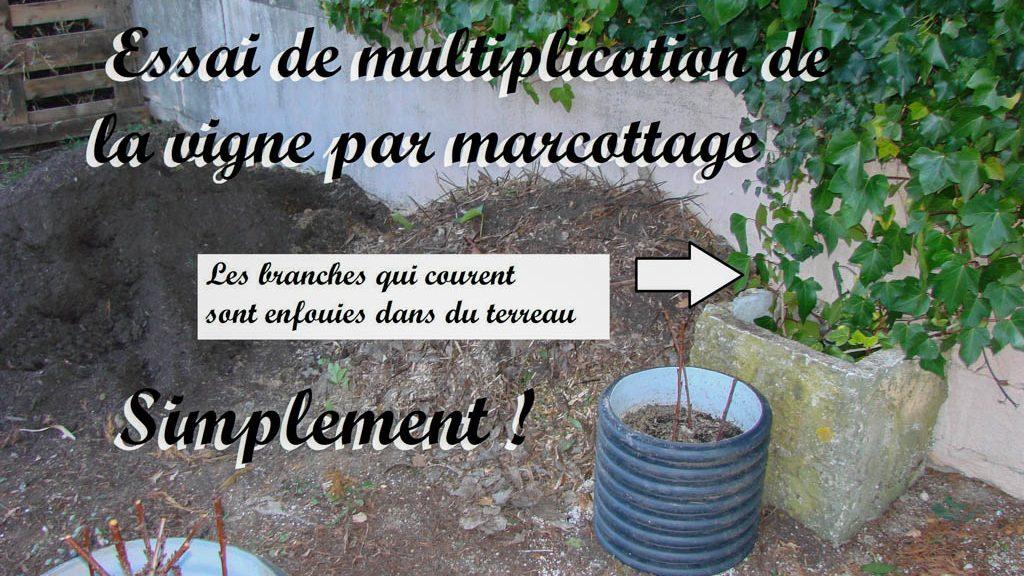 multiplication vigne vierge par marcotage - Dzprod Jardin de quartier - 23-12-2016