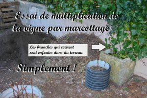 multiplication vigne vierge par marcottage - Dzprod Jardin de quartier - 23-12-2016