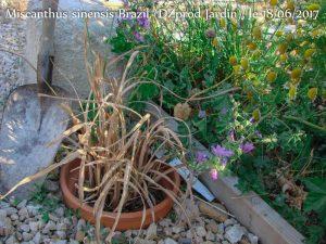Miscanthus sinensis Brazil (DZprod Jardin) le 18-06-2017