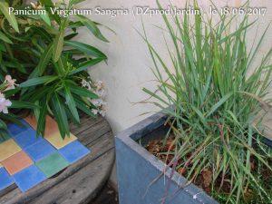 Panicum virgatum Sangria cov (DZprod Jardin) le 18-06-2017
