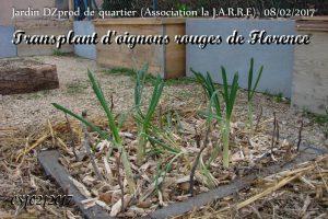 Transplantation oignons rouges - jardin de quartier - 08-02-2017