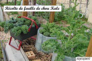 Récolte de feuille de chou Kale