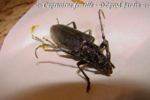 Capricorne femelle - 6cm - DZprod Jardin