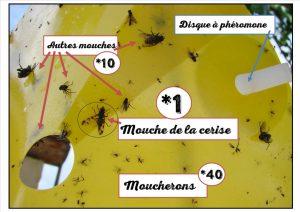 Comptage disque phéromone mouche de la cerise - DZprod Jardin
