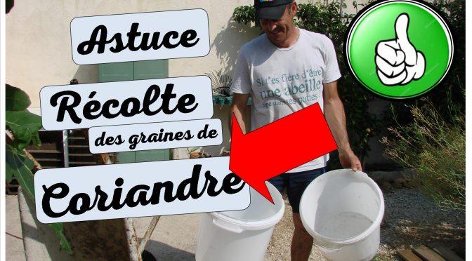 Récolte des graines de coriandre – Astuce maison !