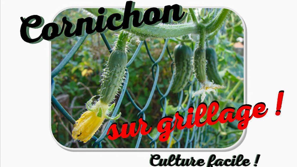 Culture cornichon sur grillage facile - youtube Mignature