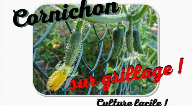 cornichon culture semis grillage récolte bocaux lactofermentation ou vinaigre