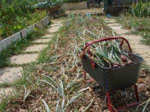 Récolte des oignons de la bande A - Jardin partagé du Loucascarelet - 21 juillet 2017