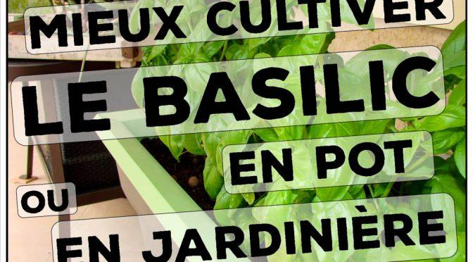 Basilic en pot : (culture et astuce), un seul pot pour toute la saison !