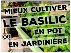 comment mieux cultiver le basilic en pot ou en jardinière - conseil DZprod Jardin
