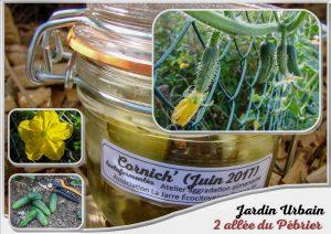 culture cornichon du jardin urbain lactofermenté - association la jarre écocitoyenne